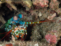 Mantis Shrimp. Is hiding in the hole Royalty Free Stock Photos