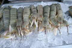 Mantis shrimp on ice Royalty Free Stock Images