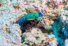 Mantis Shrimp Royalty Free Stock Images