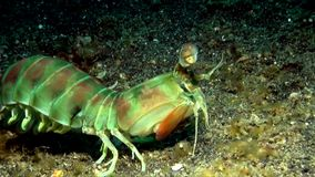 Mantis shrimp Lembeh strait Indonesia stock video