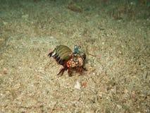 The mantis shrimp in Myanmar divesite Royalty Free Stock Photo