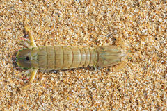 Mantis shrimp. A mantis shrimp at sandbeach. Scientific name: Oratosquilla oratoria Royalty Free Stock Photos