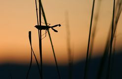 Mantis. Silhouette of mantis Stock Photo