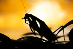 Mantis silhoutte on yellow background Stock Image