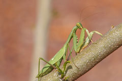 Mantis sits on a dry path Royalty Free Stock Photos