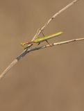 Mantis sits on a dry path Stock Images