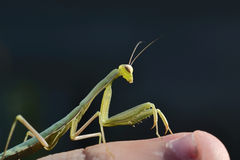 Mantis sits on a finger. Macro Royalty Free Stock Photo