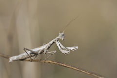 Mantis sitting on a branch. Royalty Free Stock Photo