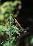 Mantis, sitting on the grass. Stock Image