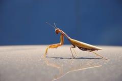 Mantis sitting on the surface. Stock Photos