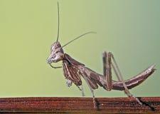 Mantis. Small Praying Mantis macro shot Stock Photography