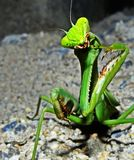 ¨Praying Mantis Stock Photo