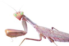 Mantis stare to you. Isolated on white background Stock Images