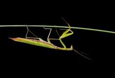 Mantis sulla erba-lamierina 4 Immagine Stock Libera da Diritti