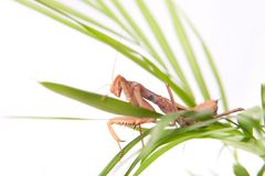 Mantis sulla pianta Fotografia Stock Libera da Diritti
