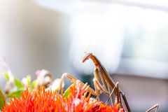 Mantis Royalty Free Stock Images