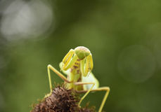 Mantis on the tong. Mating mantises. Mantis insect predator. Royalty Free Stock Photo