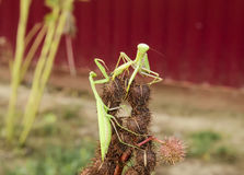 Mantis on the tong. Mating mantises. Mantis insect predator. Stock Images