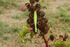 Mantis on the tong. Mating mantises. Mantis insect predator. Royalty Free Stock Photos