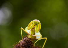 Mantis on the tong. Mating mantises. Mantis insect predator. Royalty Free Stock Photography