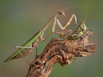 Mantis touching Hopper Stock Photo