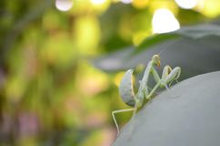 Mantis verde Fotografia de Stock