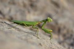 Mantis verde Imagens de Stock