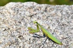 Mantis verde che si siede su una pietra Mantis Religiosa Fotografia Stock Libera da Diritti