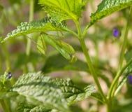 Mantis verde comum Imagem de Stock Royalty Free
