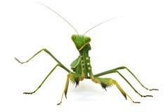 mantis verde isolado no branco imagens de stock