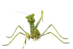 Mantis verde isolato su priorità bassa bianca fotografia stock libera da diritti