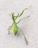 Mantis vert Images stock