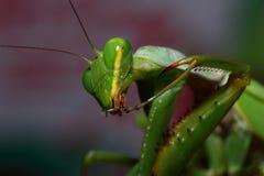 Mantis vert Photographie stock