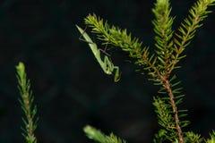 Mantis vert Photo stock