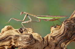 Mantis walking over branch Royalty Free Stock Photos