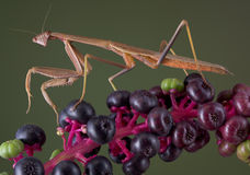 Mantis walking on pokeweed Royalty Free Stock Photos