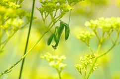 Mantis which holds to a flower reverse. Royalty Free Stock Image
