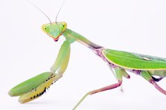 Mantis on white Royalty Free Stock Photography