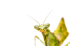 Mantis on white Royalty Free Stock Images