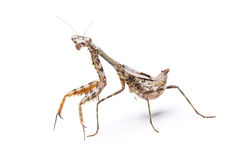 Mantis on white Stock Image