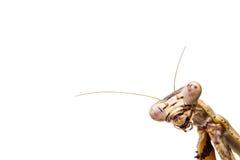 Mantis on white stock photos