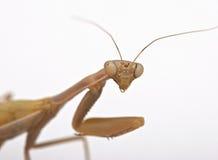 Mantis on white background Royalty Free Stock Photography