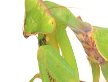 Mantis on a white background stock footage