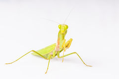 Mantis on the white background Royalty Free Stock Images