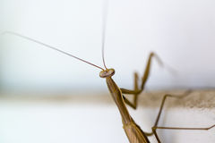 Mantis on a white window Royalty Free Stock Images