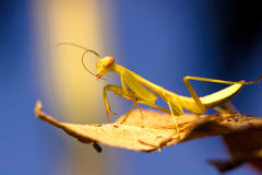 Mantis in winter Royalty Free Stock Images