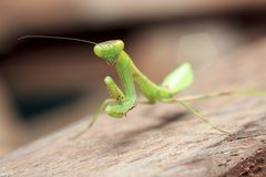 Mantis on the wood macro Royalty Free Stock Image