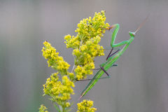Mantis on Yellow Flower Royalty Free Stock Image