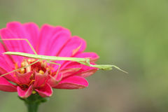 Mantis on a zinnia Royalty Free Stock Photo