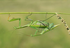 Mantises couple naturally. Pairing of mantises in a native habitat Stock Images